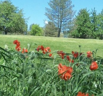 cropped-poppies-at-caledonia-e1448942584498.jpg