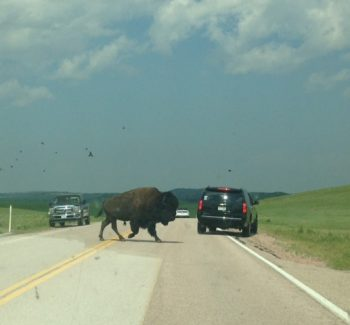 traffic jam buffalo in road